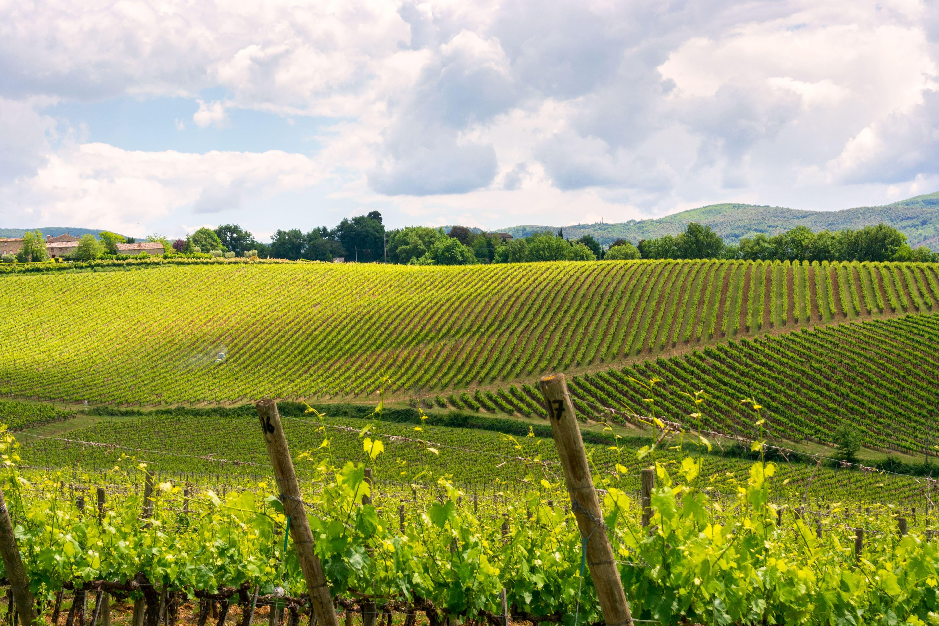 Montepulciano wine yard
