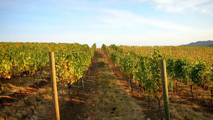Grapes grove in Avellino