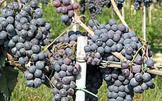 The grapes of the Chanti Area